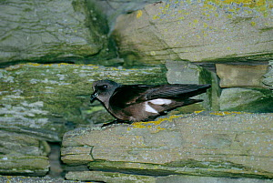 British storm petrel at nest burrow entrance {Hydrobates pelagicus} Sheltand, Scotland,  -  DAVID TIPLING