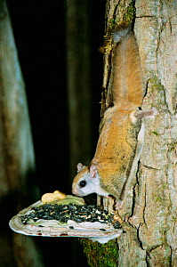 Northern flying squirrel {Glaucomys sabrinus} feeds on seeds placed on fungi. Maine, USA  -  Mark Payne-Gill
