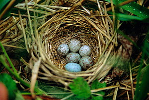 Song sparrow nest {Zonotrichia melodia} parasitised with 5 Cowbird eggs {Molothrus ater}  -  Mark Payne-Gill