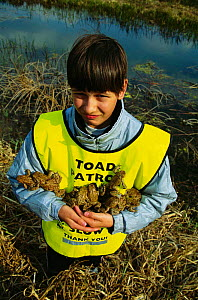 Child on Toad Patrol - helping toads across road to reach breeding lake  -  John Cancalosi