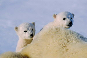Polar bear cubs, 3-month-old {Ursus maritimus} Churchill, Canada  -  Sue Flood