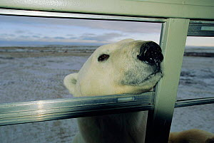 Polar bear peers through window of tourist buggy {Ursus maritimus} Churchill, Canada  -  Sue Flood