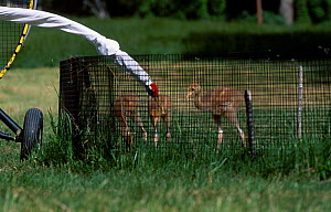Imprinting Whooping crane chicks for Operation Migration, MD, USA. may 2002 {Grus grus}  -  Mark Payne-Gill