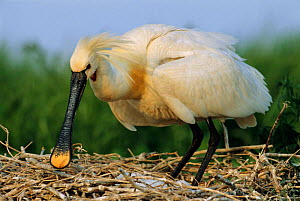 White spoonbill at nest {Platalea leucorodia} The Netherlands  -  Flip de Nooyer