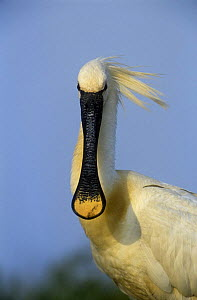 White spoonbill {Platalea leucorodia} head portrait,  Holland  -  Flip de Nooyer