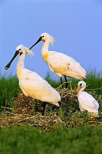 White spoonbill pair with chick {Platalea leucorodia} Holland  -  Flip de Nooyer