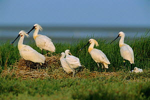 White spoonbill next colony with chicks {Platalea leucorodia} The Netherlands  -  Flip de Nooyer