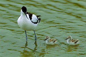 Avocet with chicks {Recurvirostra avosetta} The Netherlands  -  Flip de Nooyer