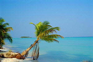 Coconut palm tree on beach {Cocos nucifera} Lakshadweep, Laccadive islands, Indian ocean  -  Toby Sinclair