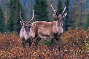 Two immature male Caribou {Rangifer tarandus} Northern Quebec, Canada  -  Jose Schell
