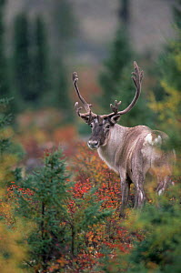 Adult male Caribou / Reindeer{Rangifer tarandus} Northern Quebec, Canada. September  -  Jose Schell