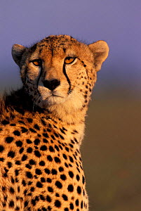 Female Cheetah head portrait {Acinonyx jubatus} Masai Mara National Reserve, Kenya  -  Peter Blackwell