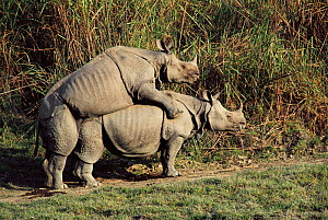 Indian rhinos mating {Rhinoceros unicornis}  Kaziranga NP, Assam, India - Lockwood & Dattatri