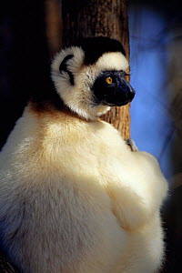 Verreaux's sifaka portrait {Propithecus verreauxi} Berenty Private Reserve, Madagascar  -  Pete Oxford