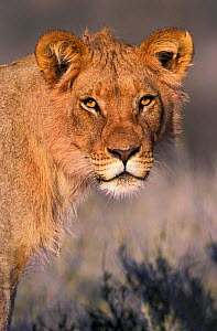 Lion portrait, young male {Panthera leo} Kgalagadi TP, South Africa  -  Tony Heald