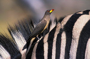 Yellowbilled oxpecker {Buphagus africanus} on Zebra Moremi WR, Botswana, Africa  -  Sharon Heald