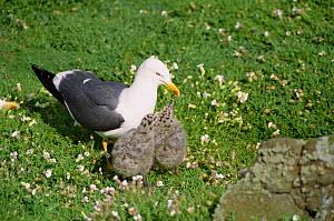 Lesser black backed gull with chicks {Larus fuscus} May Is, Scotland, UK - Brian Lightfoot