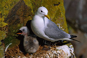 Kittiwake with chick calling {Rissa tridactyla} May Is, Scotland, UK  -  Brian Lightfoot