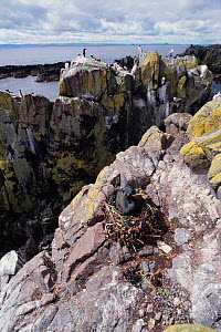 Shag nesting on cliff ledge {Phalacrocorax aristotelis} May Is, Scotland, UK  -  Brian Lightfoot