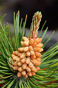 Scots pine flower with cone developing {Pinus sylvestris} Aviemore, Scotland, UK  -  Brian Lightfoot
