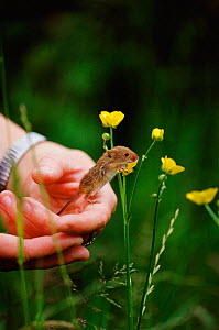 Harvet mouse {Micromys minutus} being released onto Buttercup Somerset, UK - Colin Seddon
