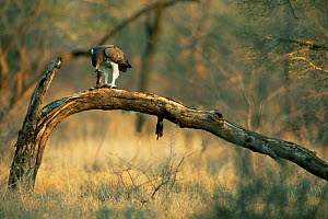 Martial eagle {Polemaetus bellicosus} with mongoose prey, Kruger NP, South Africa  -  Francois Savigny