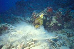 Triton triggerfish searching for food {Balistoides viridescens} Red Sea - Francis Abbott