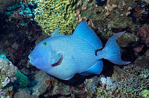 Blue triggerfish {Pseudobalistes fuscus} with Cleaner fish  Red Sea  -  Constantinos Petrinos