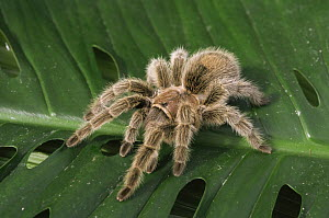 Chilean rose spider {Grammostola spatulata} portrait on leaf, captive  -  David Kjaer