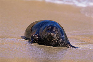 Harbour / Common seal on beach {Phoca vitulina} California, USA  -  Tom Vezo