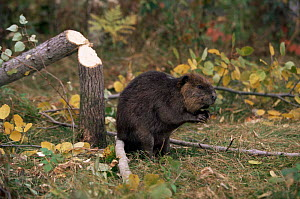 Beaver {Castor canadensis} next to felled tree, Kettle River, Minnesota, USA  captive  -  Thomas Lazar