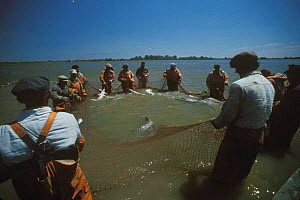 Sturgeon fishing {Acipenser sp} River Volga, Russia 1996  -  John Sparks
