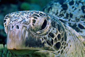 Green turtle head close up {Chelonia mydas} Coral sea, Australia - Brent Hedges
