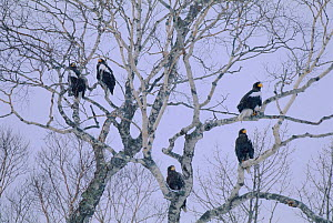 Steller's sea eagles perched in tree {Haliaeetus pelagicus} Nemuro Straits, Japan  -  David Pike