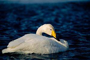 Whooper swan on water {Cygnus cygnus} Akan ko, Japan  -  David Pike