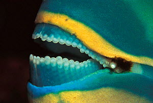 Close up of Parrotfish mouth showing teeth {Scaridae} Sulu-Sulawesi seas, Indo-pacific  -  Jurgen Freund