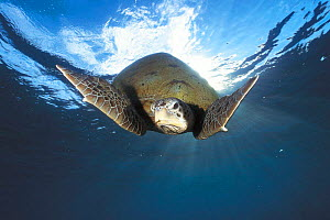 Green turtle swimming {Chelonia mydas} Sulu-sulawesi seas, Indo Pacific ocean  -  Jurgen Freund