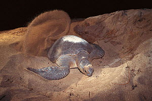 Green turtle digging nest in sand on beach {Chelonia mydas} Sulawesi, Indonesia  -  Jurgen Freund