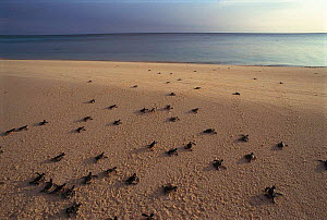 Green turtle hatchlings heading for the sea {Chelonia mydas} Sulawesi, Indonesia  -  Jurgen Freund