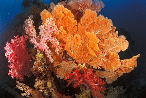 Soft coral {Dendronephthya sp} + Gorgonia fan  Sulu-Sulawesi seas, Indo Pacific  -  Jurgen Freund