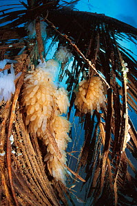 Squid eggs attached to floating palm fronds, Sulu-Sulawesi seas, Indo-Pacific  -  Jurgen Freund