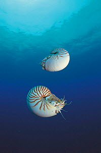 Two Pearly nautilus {Nautilus pompilius} Sulu-sulawesi seas, Indo-pacific. Fills shell with water to sink and expells water to rise, lateral movement by jet propulsion  -  Jurgen Freund