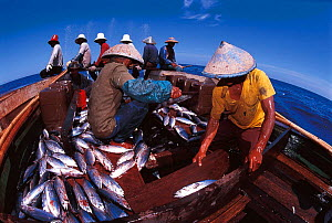 Funae fishermen use Anchovy bait to catch Tuna in Rakit area, Indonesia. Rakit is a thatched hut on a small bamboo raft occupied by custodian who attracts fish with lanterns at night Boats pay to fish... - Jurgen Freund