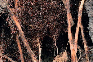 African driver / Siafu / Safari ant nest under root system of banana tree {Dorylus / Anomma sp} Tanzania, East Africa  -  Martin Dohrn