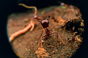 African driver / Siafu / Safari ant in defensive pose {Dorylus / Anomma species}  -  Martin Dohrn