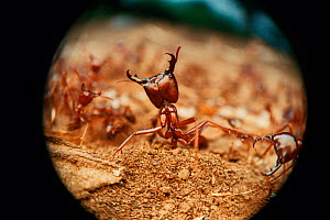 African driver ant / Siafu / Safari ant in defensive posture {Dorylus / Anomma species}  -  Martin Dohrn