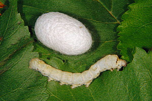 Silkworm moth chrysalis and larva {Bombyx mori} on Mulberry leaf  -  John B Free