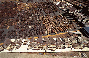 Shark fins and Sea cucumbers drying. Philippines.  -  Jurgen Freund