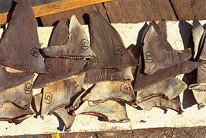 Shark fins drying. Philippines.  -  Jurgen Freund