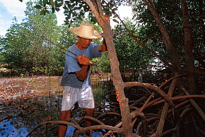 Farmer cutting mangrove tree, Philippines.  -  Jurgen Freund
